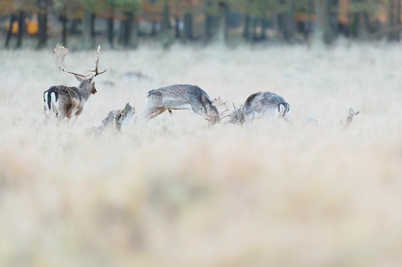 Combat de daims - Dyrehaven - Copenhague - Danemark - Mickaël Bonnami Photographe - VP23